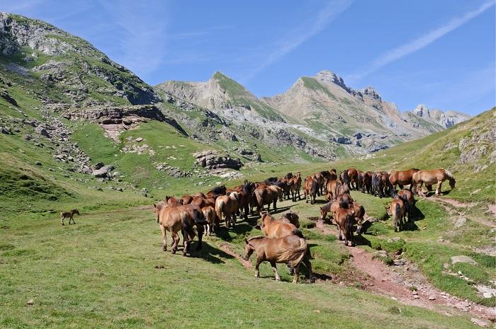 Chevaux_estive_Pyrenees